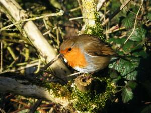 Cutie Robin