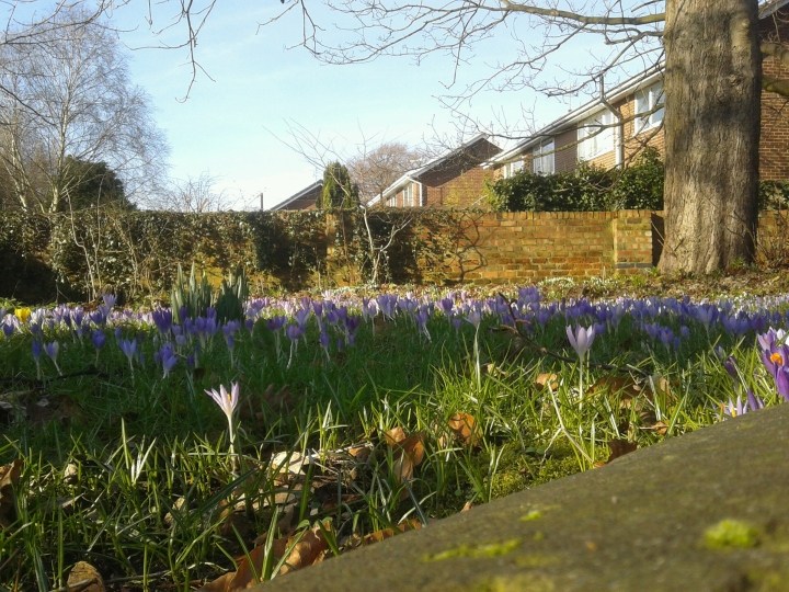 Crocuses or Croci - I'm not sure but croci sounds more fun!