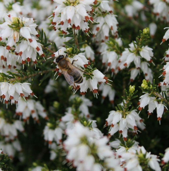 A honeybee (I think...) enjoying the yummy heather