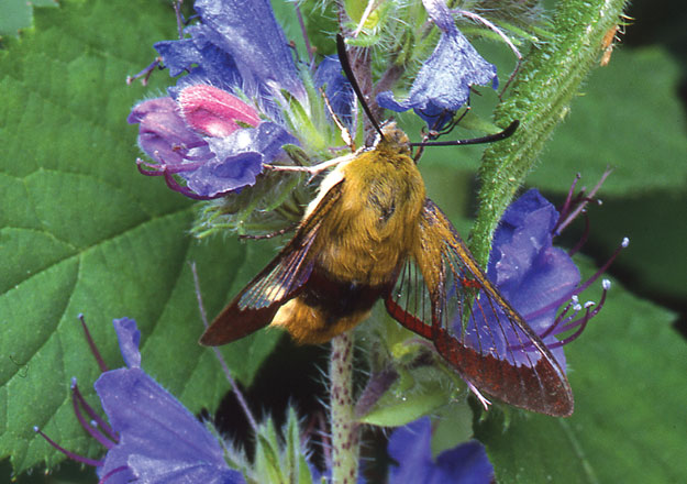 Not enjoying honeysuckle today but they proper love it... honest! Photo from http://butterfly-conservation.org/