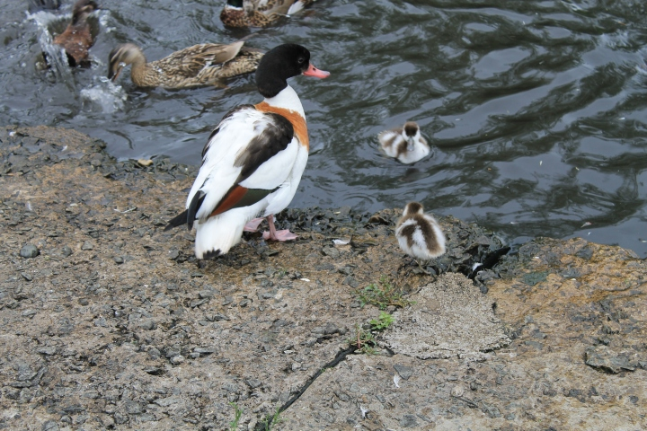 Shelduck and ducklings